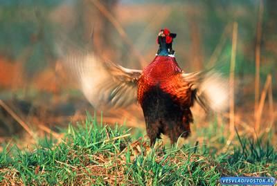 Разведение фазанов в Болгарии