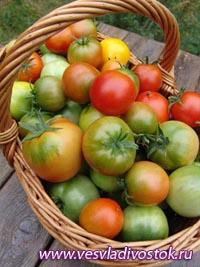 Стерилизованные красные помидоры
