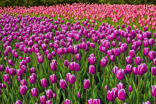 Фестиваль тюльпанов пройдет в Канаде