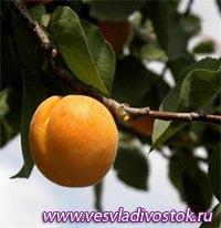 Предки абрикосов