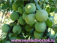 Ренклодовый компот с отваренными яблоками