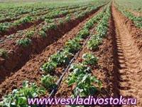 Возделывание картофеля в высоких валках