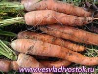 Сеем морковь