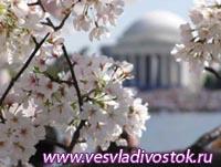Национальный фестиваль цветущей вишни в Вашингтоне