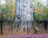 Сгорело самое старое дерево в США