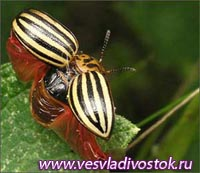 Древесная кора проттив колорадского жука