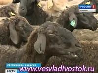Ширинские овцы привезли бронзу из Читы